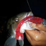 fishbone lures