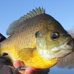 biig bluegill fishing